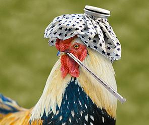 Вспышку птичьего гриппа в районе Алтайского края удалось быстро погасить