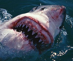 людоед акула фото