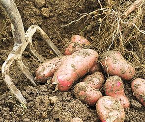 Женщину убил за отказ копать картошку