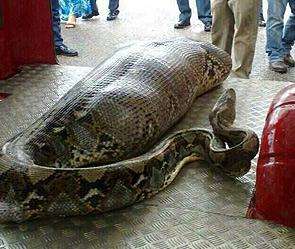 В Индии человека проглотил гигантский питон