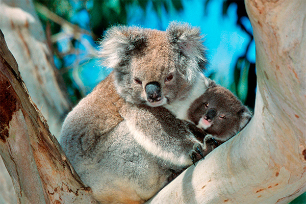 Власти австралии убили 700 коал