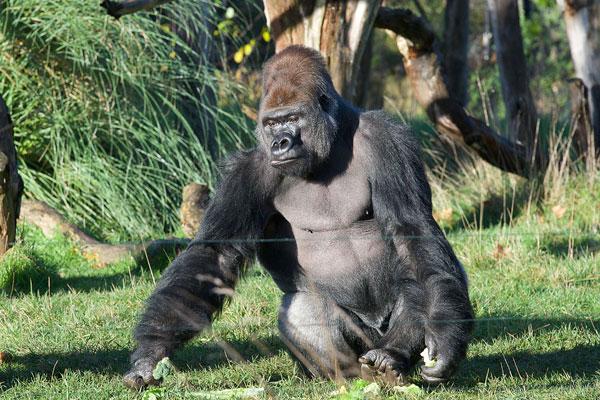 ДНИ.РУ ИНТЕРНЕТ-ГАЗЕТА ВЕРСИЯ 5.0 / Самец гориллы влюбил в себя японок