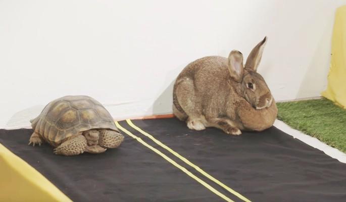 Черепаха обогнала зайца в состязании на скорость