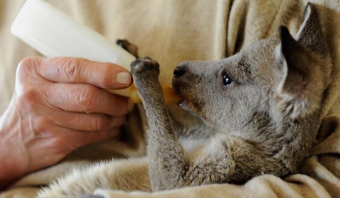 Ласковый кенгуренок просится на руки