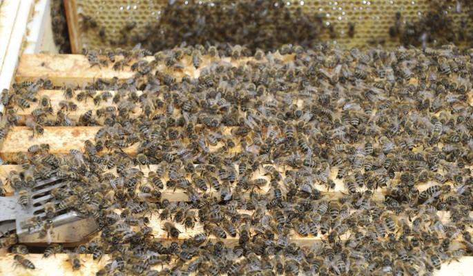 Пчелы превратили дом американки в гигантский улей