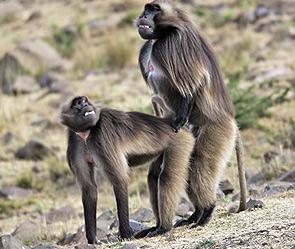 Самые сексуальные обезьяны в природе