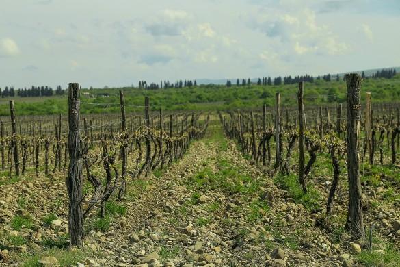Виноградники в Кахетии занимают сотни гектаров.