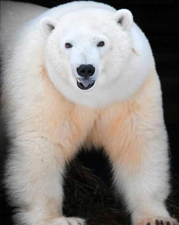 Фото предоставлено зоопарками – участниками Программы опеки белых медведей