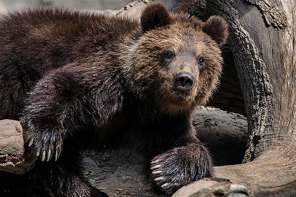 Медведь растерзал мужчину