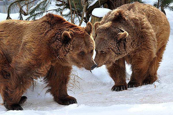 Медведь растерзал оленевода