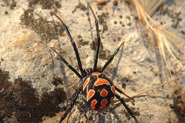Ядовитые пауки атакуют Ростов
