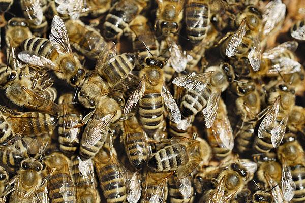Рой пчел убил садовника
