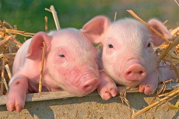 Россия запретила свинину из Канады