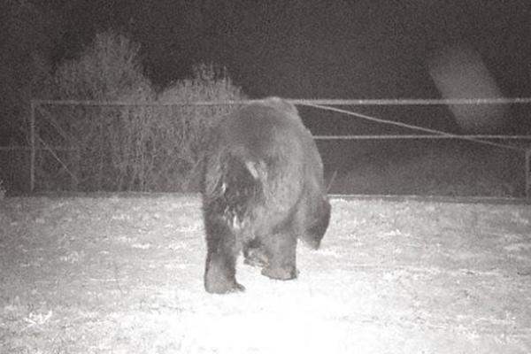 В Чернобыль вернулись бурые медведи