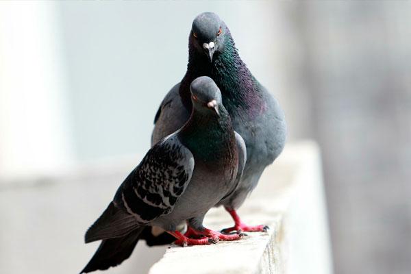 Могут ли навредить голуби человеку