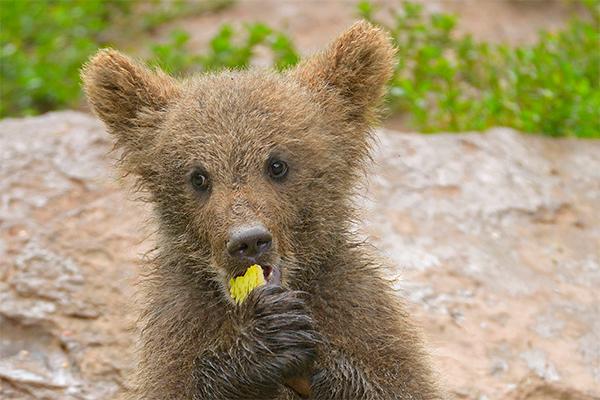 Медвежонок пробрался в пиццерию