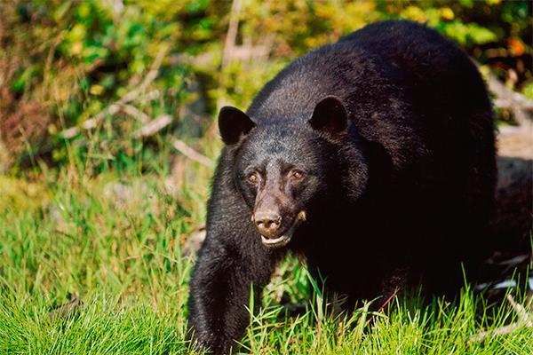 Фермер с лопатой распугал медведей