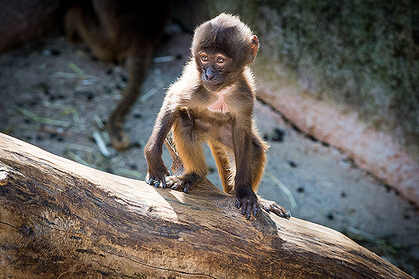 Маленькая обезьянка одолела мужчину в кулачном бою