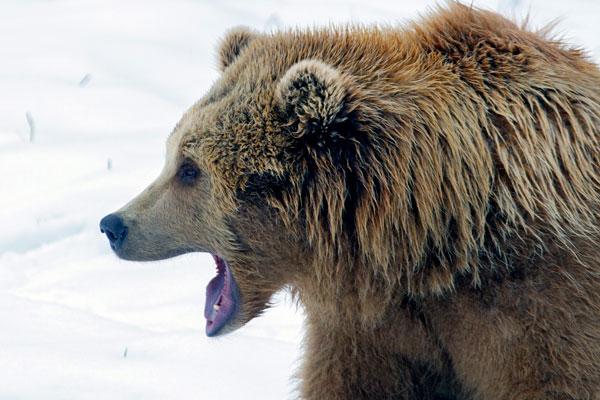 Медведь отгрыз голову сбежавшему из психбольницы