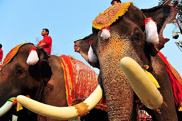 В Таиланде бешеный слон убил туриста