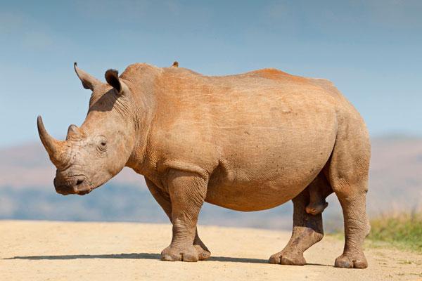Носорог протаранил джип (видео)