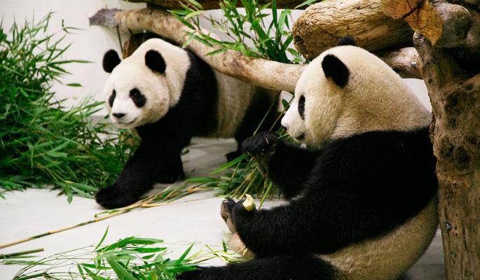 Панды-хулиганки сорвали работу убощицы