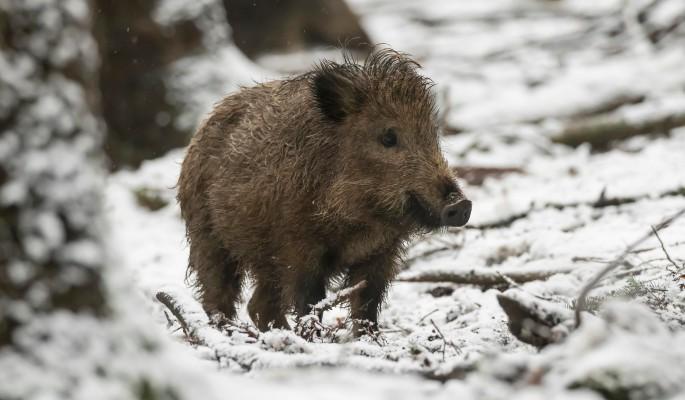 Охотник спас провалившихся под лед кабанов