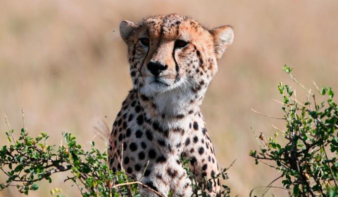 Милое мяуканье хищных гепардов растрогало Сеть