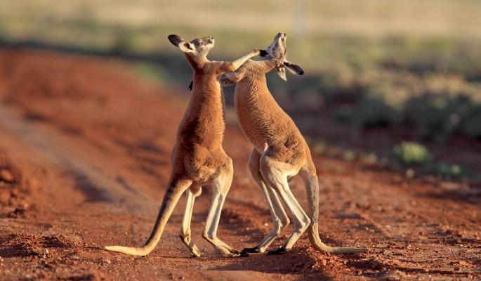 Полицейские стали свидетелями страшной драки кенгуру