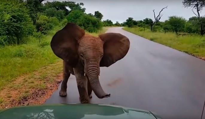 Сердитый слоненок возомнил себя королем дороги
