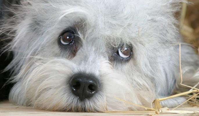 Россиянин привязал хромую собаку к мчащейся машине