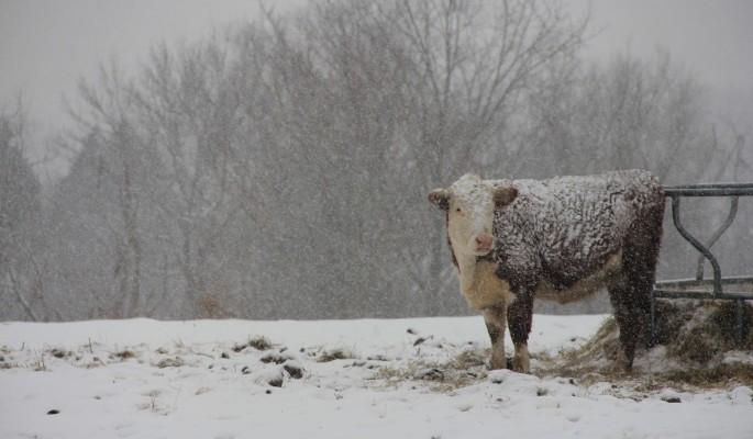 Порадуй скотину: необычные приметы на 27 января