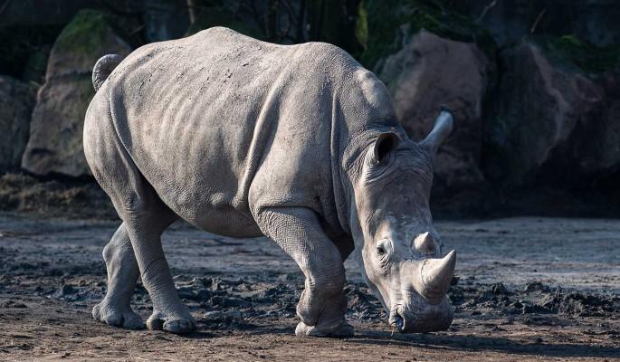 """Спасти носорогов: """"Росатом"""" стал ключевым партнером уникального проекта"""